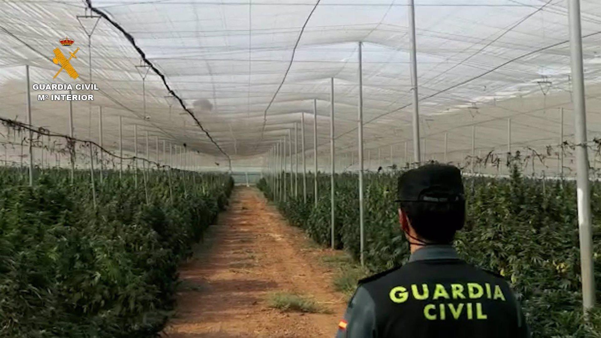 Intervenidas 40.000 plantas de marihuana y 130 kilos procesados, la mayor actuación en la provincia