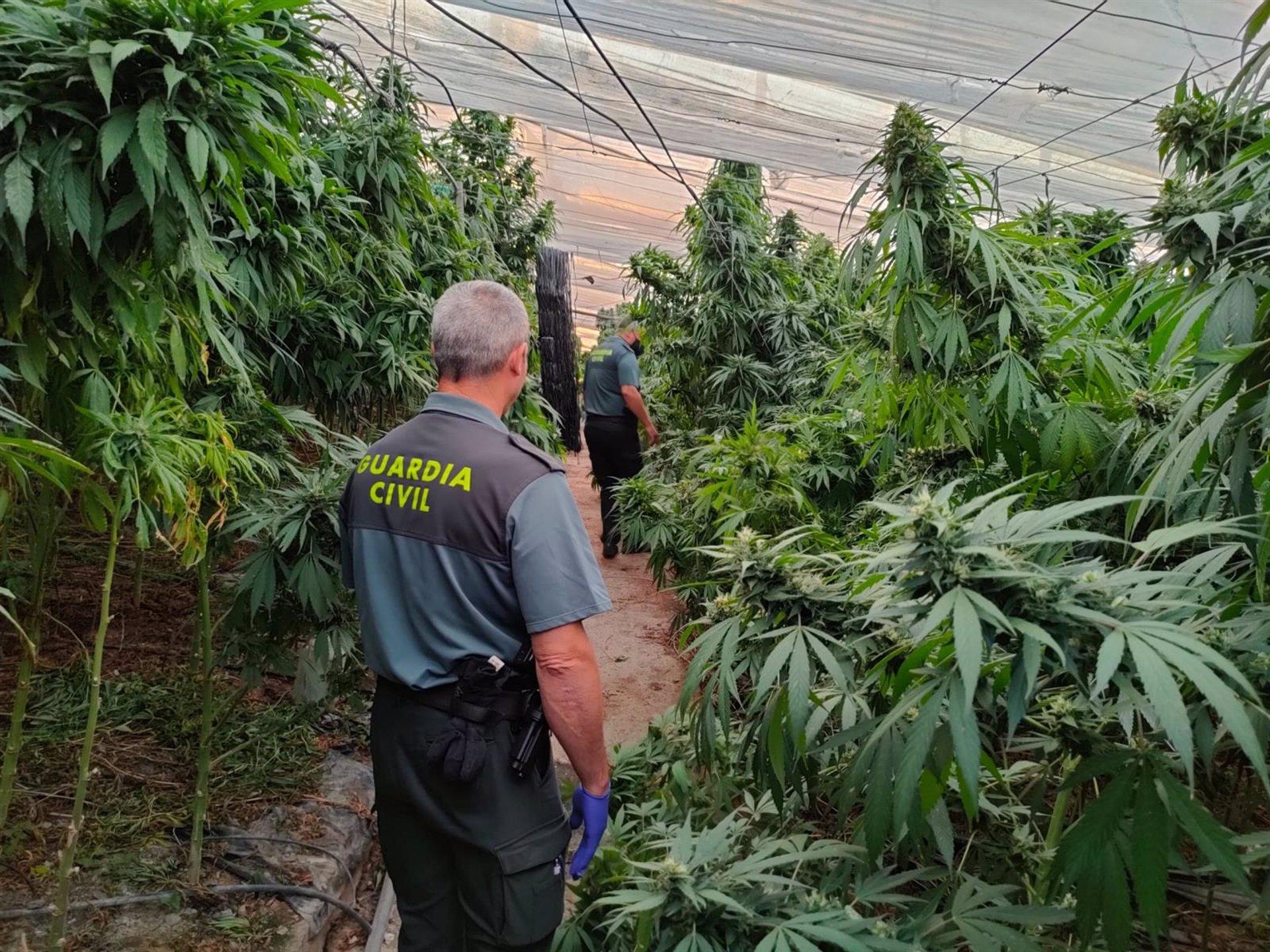 Incautadas 9.700 plantas de cannabis sativa en un invernadero de Sorvilán