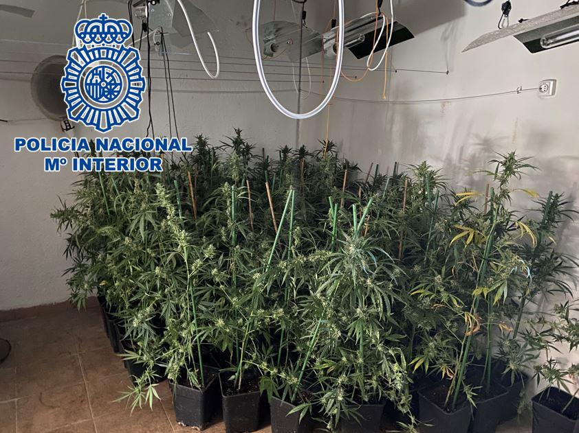 Desmantelados tres operaciones seis plantaciones de marihuana con más de 480 plantas y 130 gramos de cogollos ya recolectados