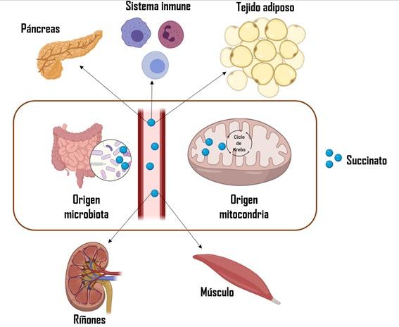 Demuestran que el succinato, una pequeña molécula identificable en sangre, ayuda a predecir enfermedades cardiovasculares en jóvenes