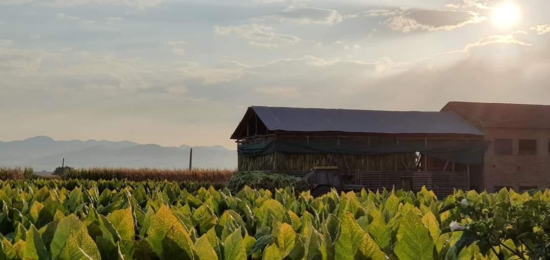 Cúllar Vega aumenta las subvenciones para el mantenimiento de secaderos de tabaco